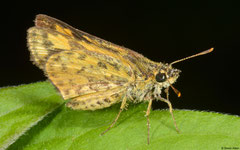 Skipper (Potanthus sp.), Kampong Trach, Cambodia