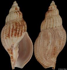 Miomelon philippianum (Chile, 60,1mm)