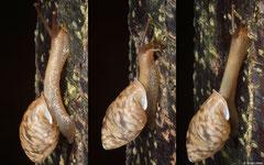 Giardia pharangensis (Bokor Mountain, Cambodia)