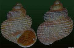 Georissa decora (Vietnam, 2,1mm)
