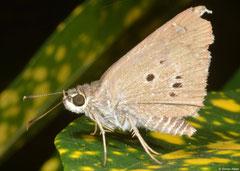 Swift (Pelopidas sp.), Pacijan Island, Philippines