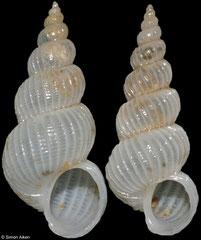 Epitonium yangi (Philippines, 11mm)