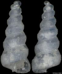 Murchisonella evermanni (Pacific Mexico, 1,3mm)