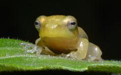 Nongkhor Asian treefrog (Chiromantis nongkhorensis), Kampong Trach, Cambodia