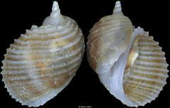 Macromphalus yamamotoi (Philippines, 3,8mm)