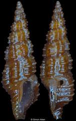 Pseudorhaphitoma sexcostata (Philippines, 6,4mm)