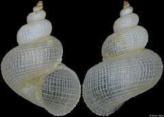 Eccliseogyra sp. nov. (Philippines, 6,6mm)