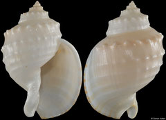 Echinophoria kurodai (Western Australia, 77,0mm) F+++ €32.00