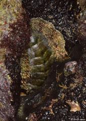 Acanthopleura brevispinosa (Shimoni, Kenya)