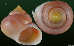 Viana regina regina (Cuba, 17,7mm) F+++ €5.35 (specimens for sale are 16-18mm and are of the same quality as the specimen illustrated)