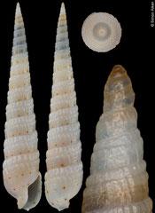 Terebra elliscrossi (Philippines, 34,6mm) F+++ €10.00