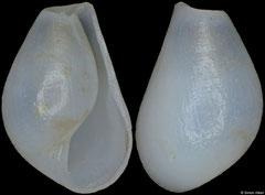 Pyrunculus pyriformis (Philippines, 5,0mm) F+++ €3.50