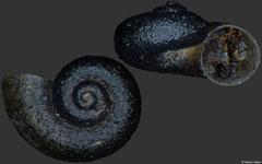 Bracenica gloeri (Montenegro, 1,6mm) (paratype)