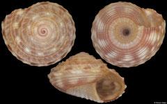 Ethminolia durbanensis (South Africa, 3,3mm)