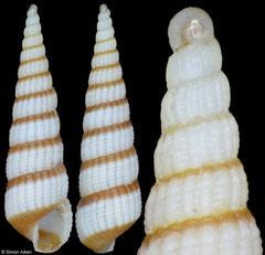 Pyrgiscus sp nov (Philippines, 8,6mm)