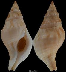 Buccinulum ponsonbyi (South Africa, 38,7mm) F+++ €8.50