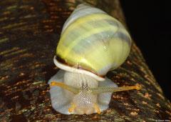 Amphidromus leucoxanthus (Bokor Mountain, Cambodia) (juvenile)