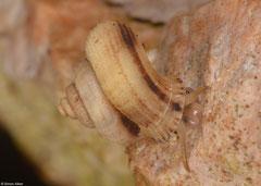 Arenabbottella tenebrosa (El Choco, Dominican Republic)