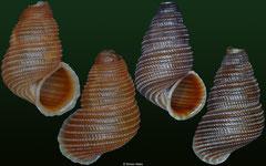 Chondropoma rufopictum (Cuba, 12,8mm, 13,3mm)