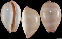Cypraea reevei (Western Australia, 38,6mm)