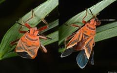 Milkweed bug (Lygaeidae sp.), Broome, Western Australia
