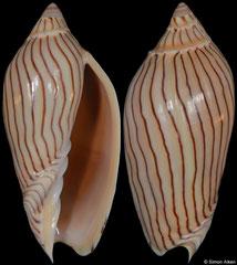 Amoria ellioti (Western Australia, 67,4mm)