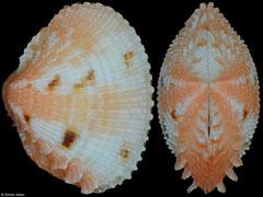 Timoclea marica (Philippines, 12,2mm)