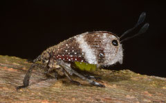 Weevil-mimicking eurybrachid hopper (Ancyra sp.), Bokor Mountain, Cambodia
