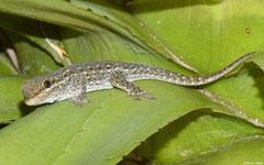 Gecko (Phelsuma breviceps), Anakao, Madagascar