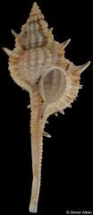 Vokesimurex multiplicatus bantamensis (Indonesia, 37,3mm) F+++ €6.00