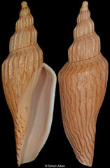 Fulgoraria bailorum (Vietnam, 129,8mm)