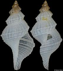 Marshallena sp. nov. (Philippines, 8,3mm)