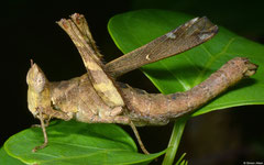 Monkey grasshopper (Erianthus versicolor) female, Kampong Trach, Cambodia