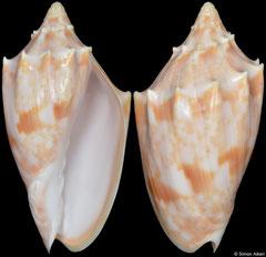 Cymbiola pulchra form wisemani (Queensland, Australia, 68,1mm)