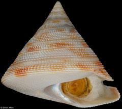 Perotrochus wareni (New Caledonia, 41,7mm) F+++ €155.00