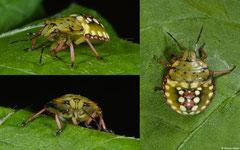 Southern green stink bug (Nezara viridula) nymph, Ambalavao, Madagascar
