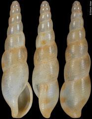 Kanamarua aikeni (Philippines, 25,3mm)