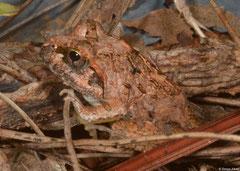 Mascarene grass frog (Ptychadena mascareniensis), Fianarantsoa, Madagascar