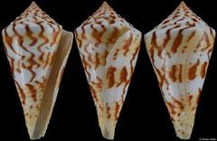 Conus centurio (Caribbean Colombia, 65,6mm) F+/F++ €26.00