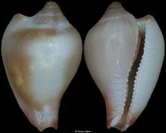 Alaerato palawanica (Philippines, 6,6mm)