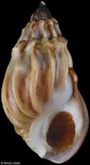 Melanopsis suarezi (Morocco, 22,4mm)