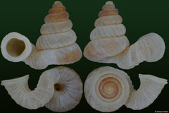 Plectostoma transequatorialis (Indonesia, 2,6mm) (paratype)