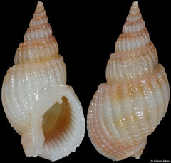 Nassarius scalaris (Vietnam, 22,7mm)