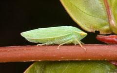 Planthopper (Fulgoromorpha sp.), Kampot, Cambodia