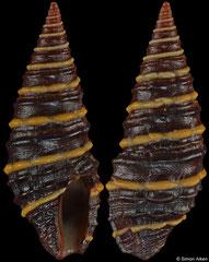 Zonulispira zonulata (Pacific Mexico, 18,2mm)