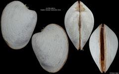 Pliocardia stearnsii (Eastern Aleutian Subduction Zone, 13,5mm)
