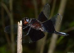 Madagascar jungleskimmer (Thermorthemis madagascariensis), Mantadia, Madagascar