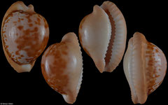 Cypraea connelli (South Africa, 25,8mm)