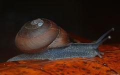Pleurodonte dentiens (W of Col des Mamelles, Guadeloupe)