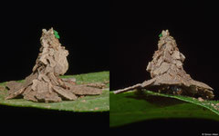 Witch's hat bagworm moth (Pagodiella sp.) larva, Kampong Trach, Cambodia